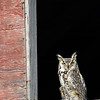 Great horned owl, Bubo virginianus, perched on a barn near Vulcan, Alberta, Canada.
