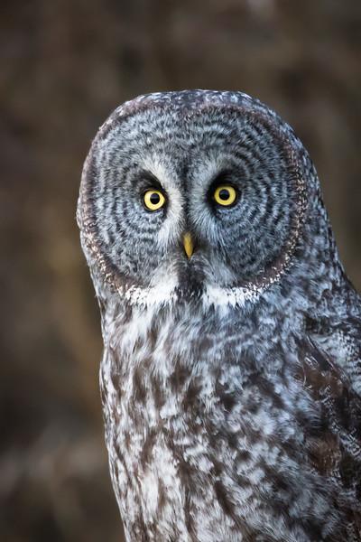 Great grey owl, Strix nebulosa, near Opal, Alberta, Canada.