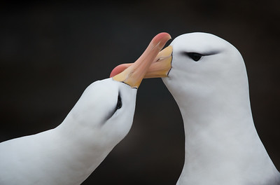 Black-browed albatross pair renewing bond
