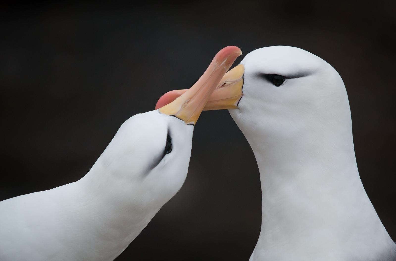 Black-browed albatross pair renewing bond