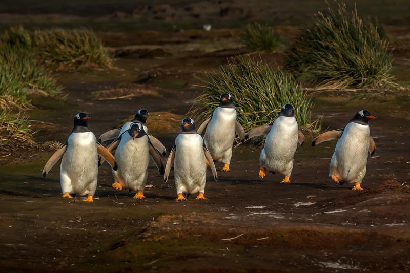 Gentoo penguins returning to colony, Sea Lion Island, Falklands