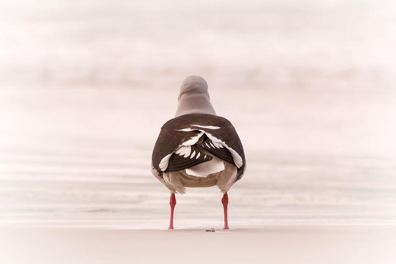Kelp gull, Volunteer Point, Falklands
