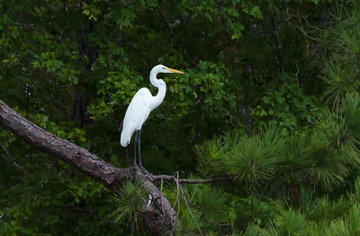Great White Egret poised on a tree branch