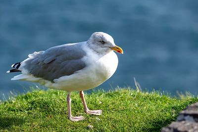 Pretty  Herring Gull against the blue Atlantic