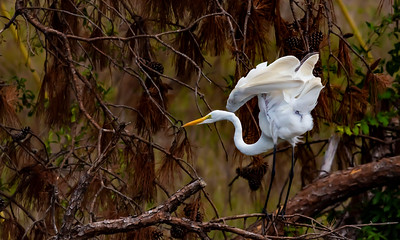Great Egret Ruffling its feathers