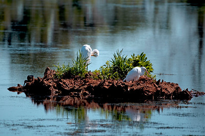 Pair of Great White Egrets