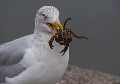 Herring Gull eating crab