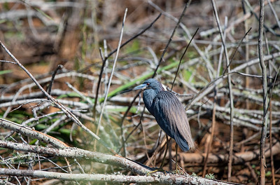 Tri Colored Heron along the Georgia Coast