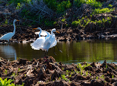 Dancing Egrets # 2