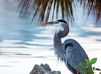 Great Blue Heron Profiile