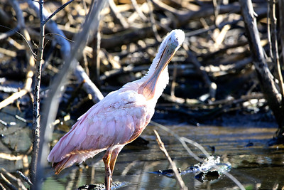 Roseate Spoonbill Grooming it's Feathers