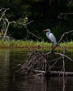 Great Egret in waiting
