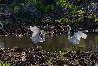 Dancing Egrets