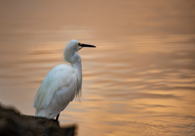 Snowy Egret At Dawn