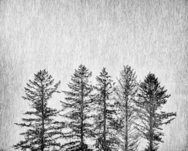 Rain Storm and Ponderosa Pine