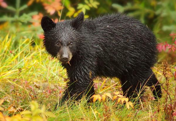 Black Bear cub Jasper National Park Alberta, Canada