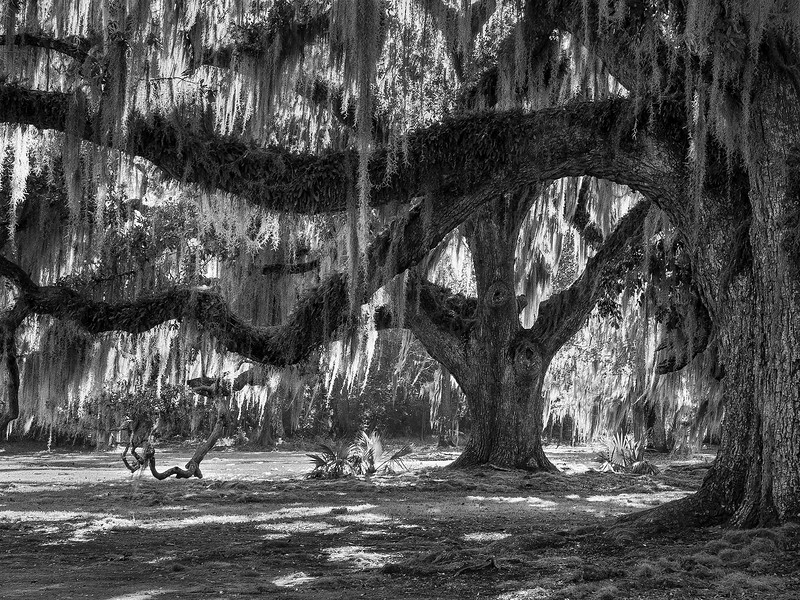 Oak tree with Spanish moss, Louisiana