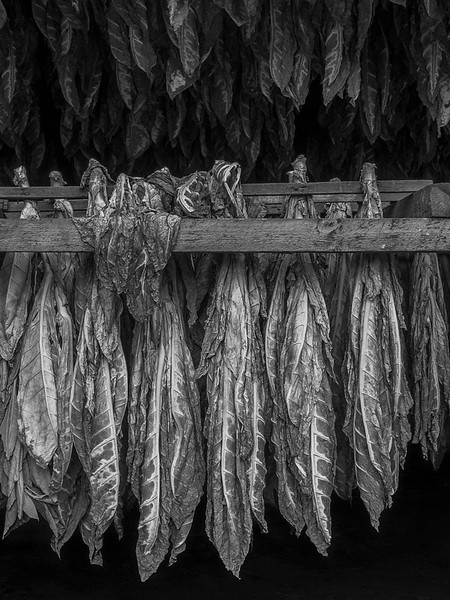 Shade tobacco drying in barn, Connecticut