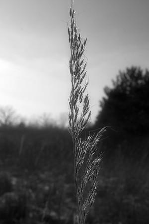 Winter wheat at Richard Bong State Park.