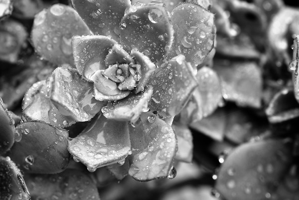 Rainy Day Succulent