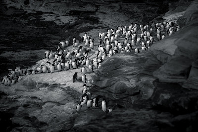 Cormorants and rockhopper penguins, Saunders Island, Falklands