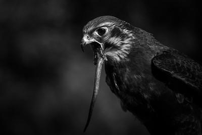 Brown falcon, South Australia