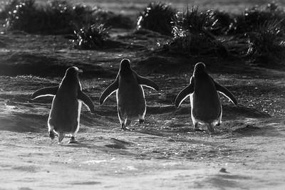Gentoo penguin trio returning to colony, Sea Lion Island, Falklands
