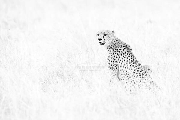 Malaika the Cheetah with cub