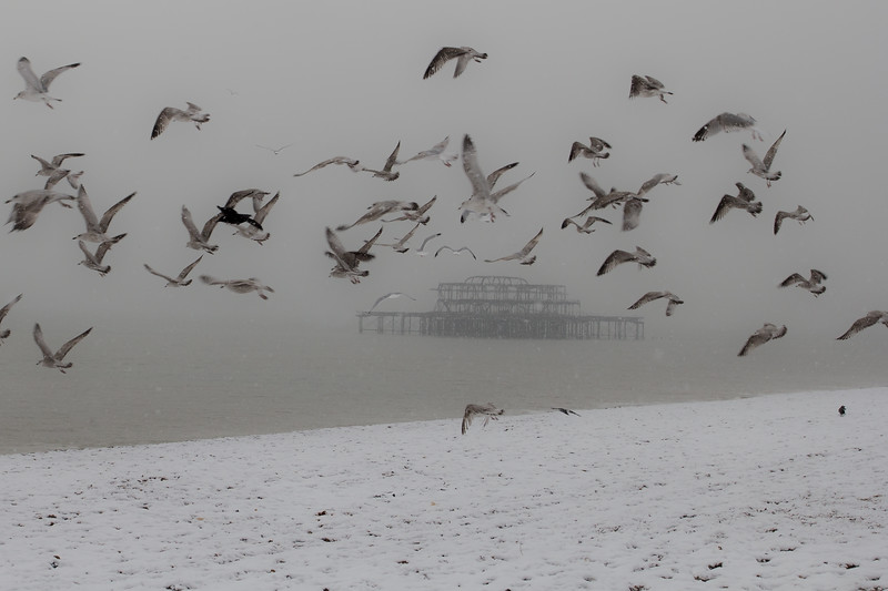 Flock of Seagulls on brighton beach on a snowy december afternoon in the background remains of the west pier can be seen.