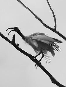 Australian white ibis, Currimundi, Queensland
