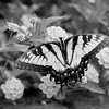 Black & White Swallowtail