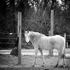 Old Gray Mare