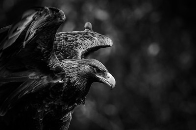 Wedge-tailed eagle, South Australia