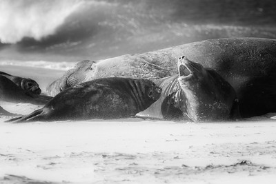 Southern elephant seals on Sea Lion Island, Falklands