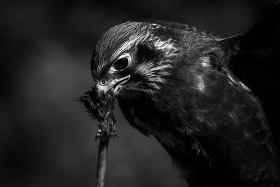 Brown falcon, Australia