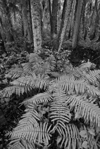 Ferns in palm hammock at Alexander Springs State Park in Ocala National Forest