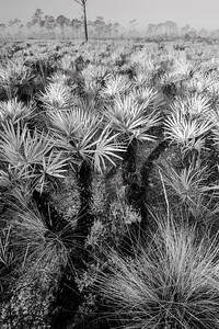Palmetto flatwoods in central Florida