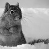 Squirrel: B&W