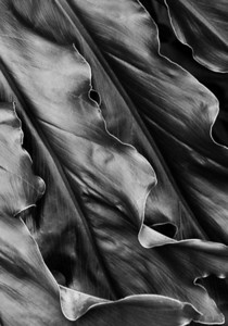 Black and white detail of a philodendron leaf