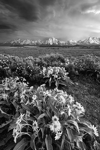 Balsamroot Salute (Black & White)