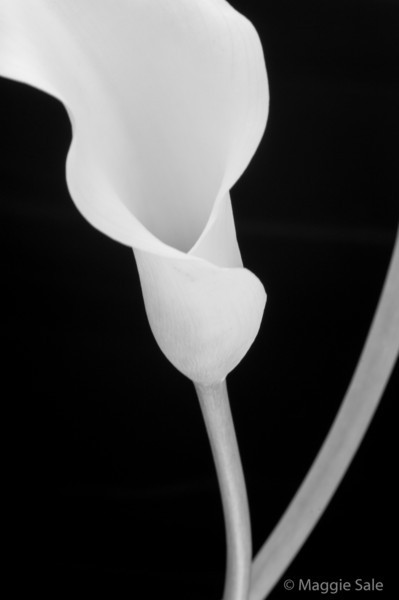 Calla Lily and stem