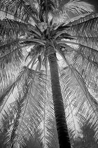 """Under the Coconut Palm"""