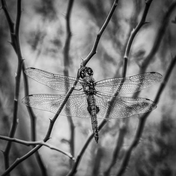 Lacy Wings
