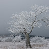 Whitetop Tree