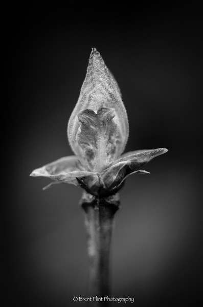 DF.4525 - bud in spring, Pend Oreille Bay Trail, Sandpoint, ID.