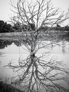 Tree Reflection B&W 01 (jpeg)_