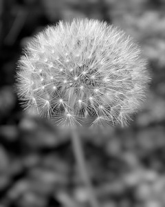 Black and White Dandelion in bloom