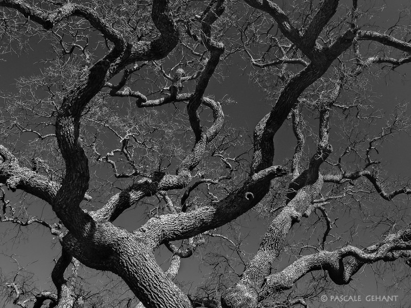 Curly oak branches