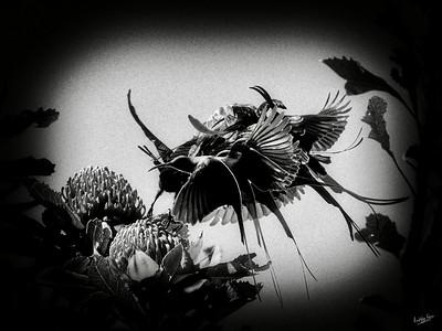 Malachite Sunbird - Mobbed