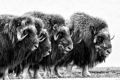 Adult Musk Ox form a defensive ring aroung their young on a spit along the coastal plain of Alaska's Arctic National Wildlife Refuge. Images taken on a month long sea kayak trip along the Arctic Coast of Yukon and Alaska.